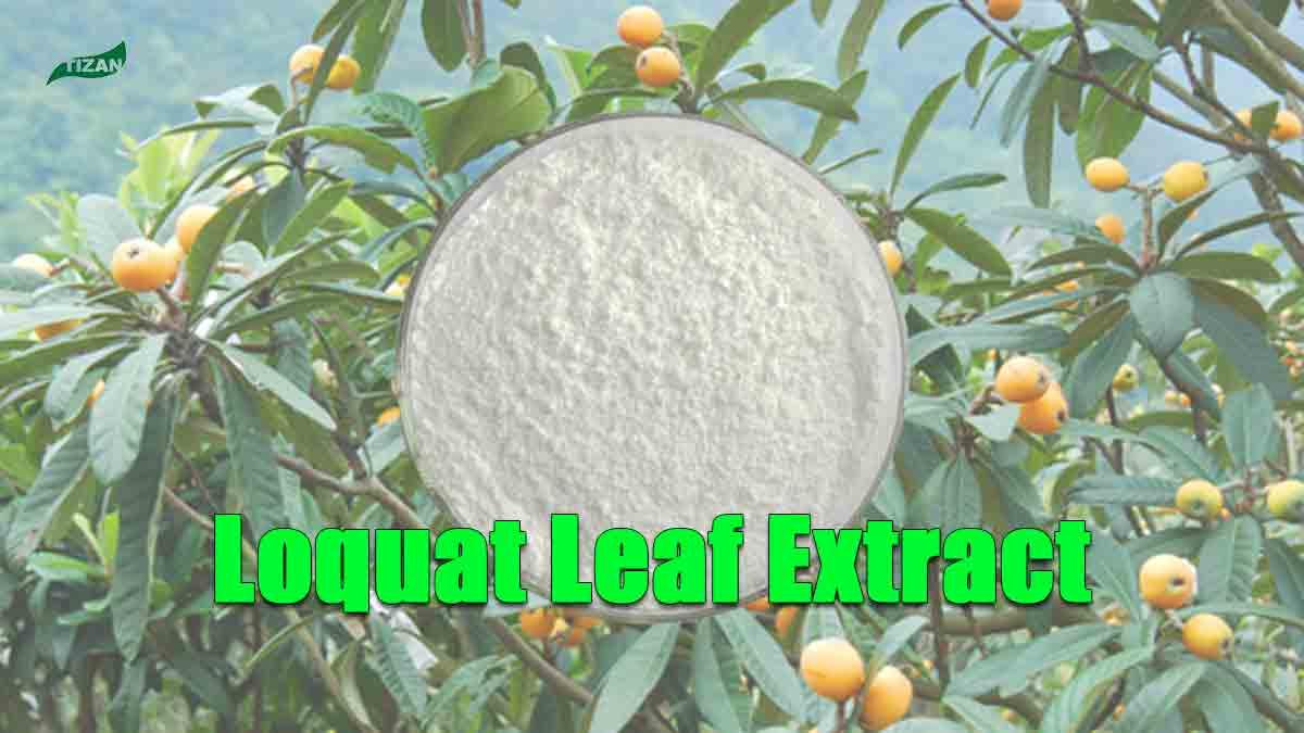 Loquat Leaf Extract Ursolic Acid